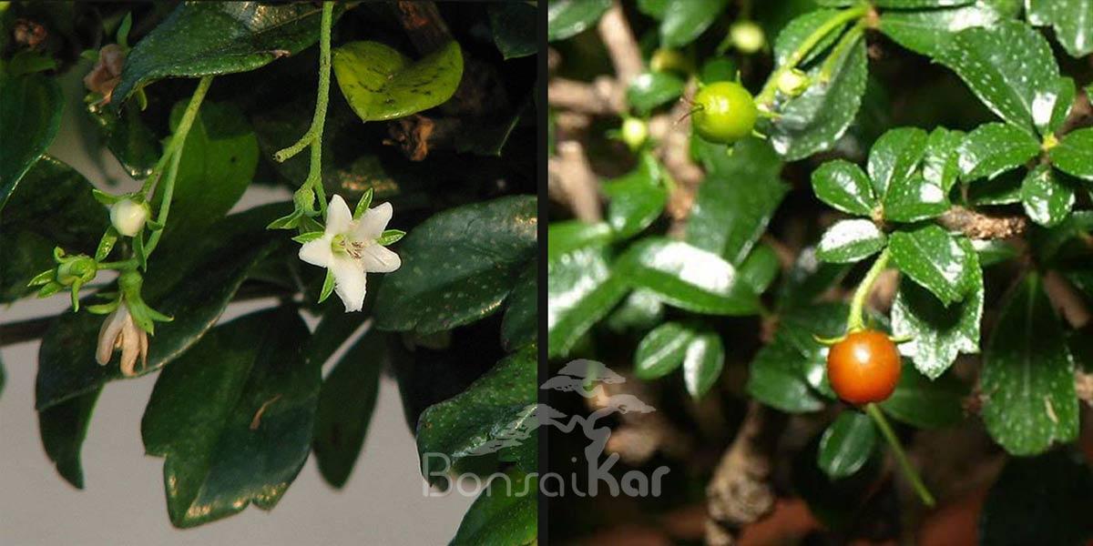 گل و میوه بونسای کارمونا