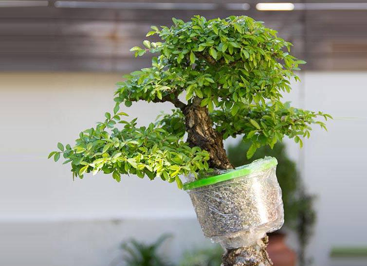 air-layer-bonsai